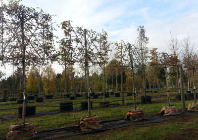 Your trees, ready on the nursery