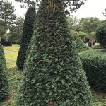 Taxus Topiary allgrowth g