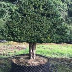 Taxus Topiary allgrowth j