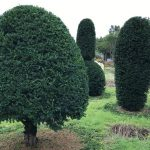 Taxus Topiary allgrowth i