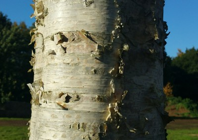 The beauty of birch bark