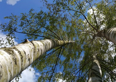 Birch canopy skyscape