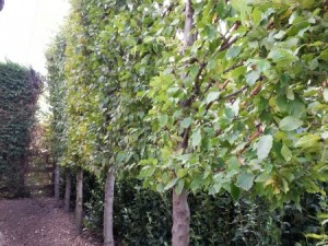 Pleached Trees: Backdrop