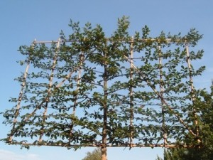 what are pleached trees