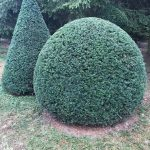 Taxus Topiary allgrowth 1