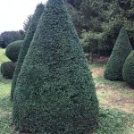 Taxus Topiary allgrowth 3