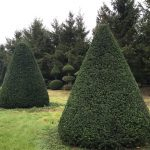 Taxus Topiary allgrowth 2