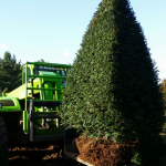 Taxus Topiary allgrowth b
