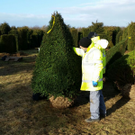 Taxus Topiary allgrowth c