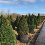 Taxus Topiary allgrowth d