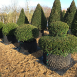 Taxus Topiary allgrowth e