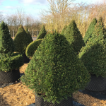 Taxus Topiary allgrowth f