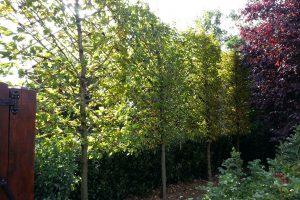 Tree foliage screening