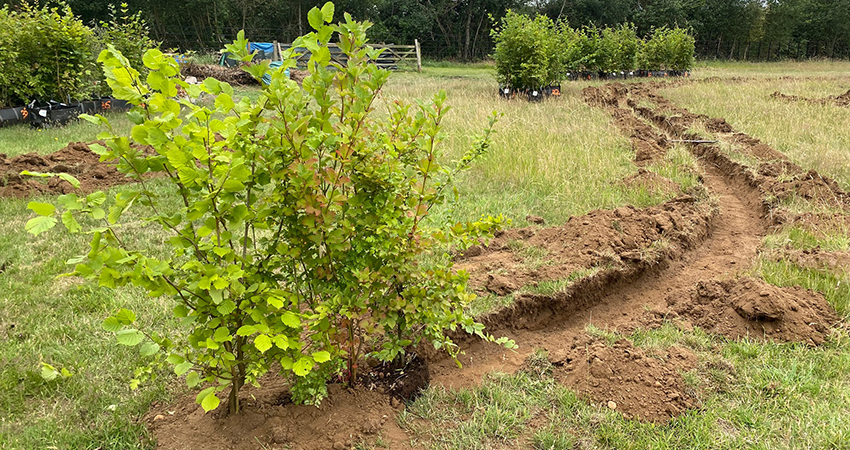 Delivered and planted Instant native hedging