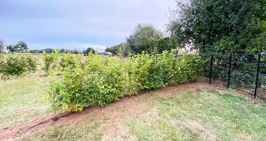 Planting Instant native hedging
