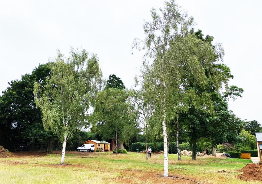 Planted 13 metre mature birch trees