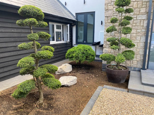 Ilex cloud trees and Japanese Cedar Bonsai