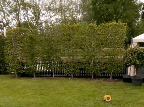 Natural screening from carpinus pleached trees